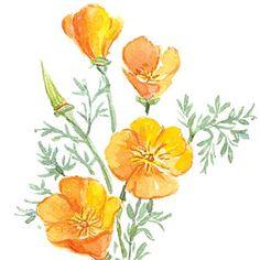 plantfinder.sunset.com - Eschscholzia californica  - California Poppy