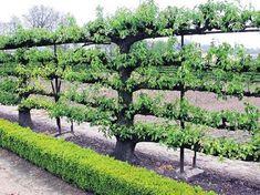 Fruit vine