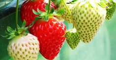 How to Be Successful in Growing Your Own Strawberries in Window Boxes