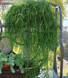 Mistletoe cactus (Rhipsalis  Read more at Gardening Know How: Rhipsalis Mistletoe Cactus: How To Grow Mistletoe Cactus Plants http://www.gardeningknowhow.com/ornamental/cacti-succulents/rhipsalis/rhipsalis-mistletoe-cactus.htm