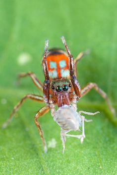 This photo is so detailed. The colours are strong particularly the eyes which are really vibrant. The texture of the hairs on the spider's face has also been captured. I like that the face is the only section of the spider in focus. This is a really interesting yet difficult to capture shot.