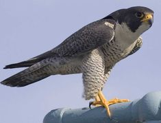 All Birds, Birds Of Prey, Fastest Bird, Blue Wildebeest, Wild Kratts, Audubon Society, Peregrine Falcon, Harry Potter, Big Bird