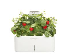 Smartpot with Strawberry