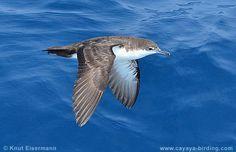 Galapagos Shearwater Puffinus subalaris - Google Search