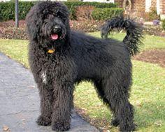 Welcome to Sabrina's Labradoodles: Previous Labradoodle & Goldendoodle Pups