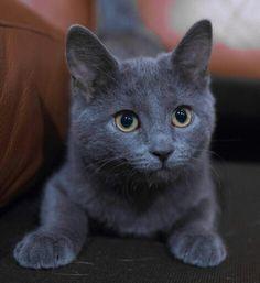 "Russian Blue Cats Kittens ""I put the 'blue' in 'Russian blue. Cute Kittens, Cats And Kittens, Russian Blue Cat Personality, Russian Blue Kitten, Gatos Cat, Tier Fotos, Grey Cats, Grey Kitten, Beautiful Cats"