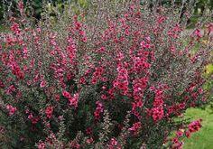 Leptospermum scoparium shrub with red flowers MANUKA Garden Shrubs, Flowering Shrubs, Steep Gardens, Small Shrubs, Australian Plants, Burgundy Flowers, Red Flowers, Tree Care, Native Plants