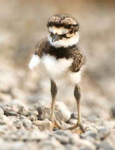 Long legged bird :) (killdeer I think)
