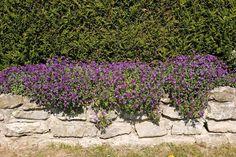 aubrieta for retaining walls