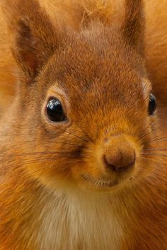 This little guy is native to Britain: The Red Squirrel http://outdoorsy.gardenxl.com/2014/01/21/squirrel-appreciation-day/