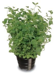 Oregano Plant Species, Growing Plants, Shrubs, Perennials, Trees, Hacks, Gardening, Flowers, Tree Structure