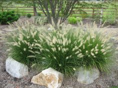 Dwarf fountain grass. Perennial. Summer/fall bloom season- full sun. Foliage turns golden russet in the fall. 2.5' max height/2' max width. Cold hardiness -20 to-30.