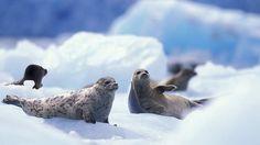 South Sawyer Glacier Harbor Seals on Icebergs, Tracy Arm, Inside Passage, Alaska, Sitka Alaska, Fairbanks Alaska, Alaska Usa, Alaska Travel, Halibut Fishing, Asia Continent, Harbor Seal, Family Cruise, Arctic Circle