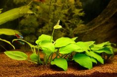 A mix of salt and freshwater, brackish aquariums present its own set of challenges. Here are a few plants that hold up in this type of tank.