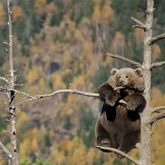 Aww baby bear | cute photo | climbing trees | cub | happy nature.