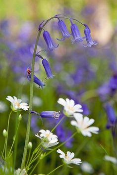 bluebells and daisies. Bluebells bloom late spring to early summer producing green stems and eye-catching clusters Spring Flowers, Wild Flowers, Meadow Flowers, Field Of Flowers, Woodland Flowers, Woodland Garden, Meadow Garden, Plantation, Gras