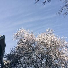 We've been incredibly lucky with blue skies and sunny days almost all week when the forecast was originally for rain. Walking to perfumery class every day along streets lined with cherry blossoms is pretty awesome too  by scentlibrary