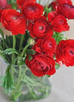 Ranunculus - Persian Buttercup,  Ranunculus species are used as food plants by the larvae of some Lepidoptera species including Hebre