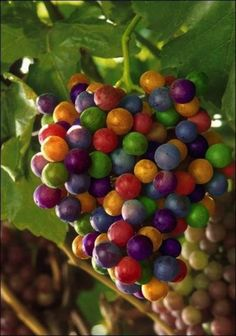 Wholesale cheap brand seeds / pack imported rainbow grape seeds advanced fruit seed natural growth grape delicious fruit plants from Chinese seeds suppl Fruit And Veg, Fruits And Vegetables, Fresh Fruit, Fruit Juice, Grape Juice, Fruit Seeds, Beautiful Fruits, Fruit Plants, Succulent Plants