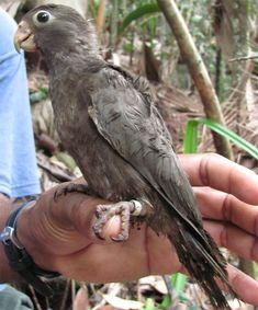 Baby Seychelles Black Parrot | La Beℓℓe ℳystère