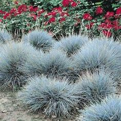 Blue Fescue grass seeds, Ornamental Perrenial Grass Seeds