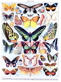 Vintage French1932 encyclopedia of Butterfly and their French names.