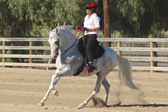 Costarricense de Paso ~ The Treasure of Costa Rica! | Horses For Sale | Epona Exchange - Domino