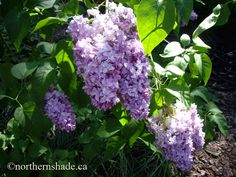 Syringa vulgaris 'Wedgewood Blue' lilac- less invasive and smaller than normal lilacs, 6 feet high. Cold tolerant, and does well in part shade. Lilac Color, Purple Lilac, Syringa Vulgaris, Planting Bulbs, Lavender Blue, Trees And Shrubs, Shade Garden, Blue Flowers, Perennials