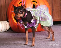 fall pictuers of dogs in halloween coustumes pinterest | Halloween Pin | Min Pins | Pinterest