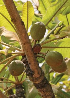 East African shea butter nuts from the vitellaria nilotica tree.