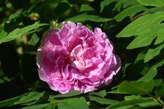 Aamun Theresa-ruusu