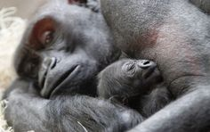Milwaukee County Zoo welcomes first baby gorilla since 1992