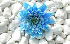 WALLPAPERS HD: Blue Flower