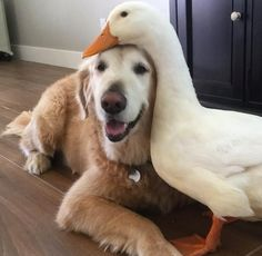 This dog and duck are best friends