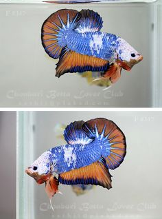 Blue and orange fancy halfmoon plakat