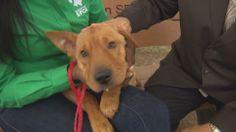 Pet of the Week: Fozie, a lovable Shar Pei mix | khou.com Houston