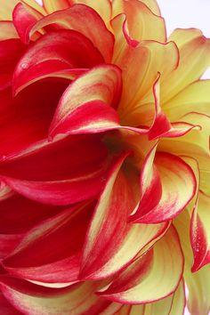 ~~Flame-like Dahia Petals ~ Dahlia 'Lady Darlene' close up by Rosemary Calvert~~