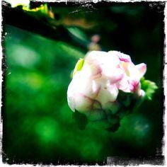 Bridal bush