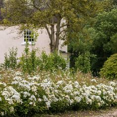 Kew Gardens | English Shrub Rose | David Austin Roses