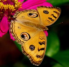 ~~Peacock Pansy Butterfly by kadavoor~~