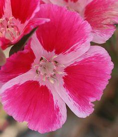 Clarkia rubicunda - plant-biology.com