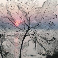 the incredibe fragility of skeletonised leaves.