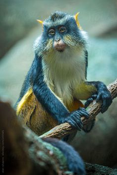 The Wolf's mona monkey is a colorful Old World monkey. It is found in central Africa, between the the Congo and Uganda. It lives in primary and secondary lowland rainforest and swamp forest. The Animals, Nature Animals, Baby Animals, Funny Animals, Cutest Animals, Wild Animals, Smiling Animals, Interesting Animals, Unusual Animals