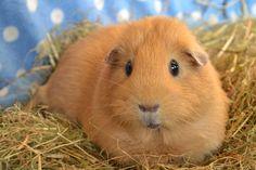 The Guinea Pig Daily: Nala