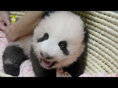 4本足でよちよち=パンダ「シャンシャン」 - YouTube