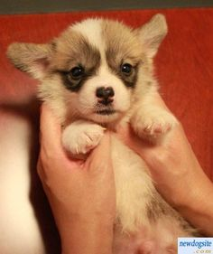 Welsh Corgi puppy, so sweet!