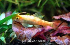 Chinese Algae Eater (Gyrinocheilus aymonieri)