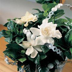 Gardenia jasminoides   Gardenia