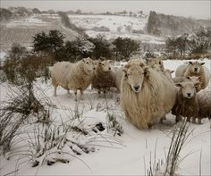Hill Sheep in the snow