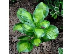 Hosta 'Adorable': (ML) (PPAF) This exciting sport of Hosta 'Royal Standard' has a chartreuse to yellow center surrounded by a wide, dark green margin and the glossy leaves are topped with many fragrant white flowers in mid to late summer. Hosta Varieties, Hosta Plants, Growing Plants, Shade Garden, Green Leaves, Shrubs, White Flowers, Perennials, Flower Power